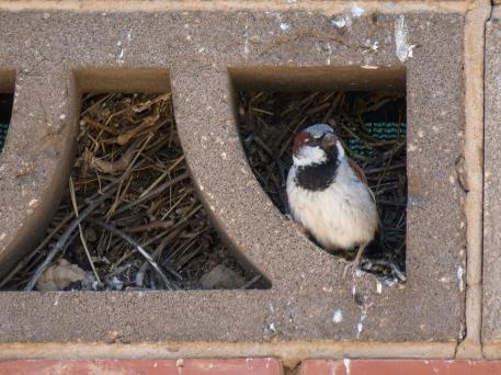 House Sparrow Male Nest
