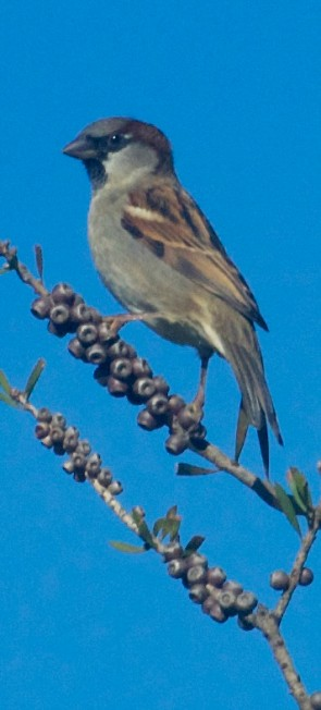 SparrowMaletrim1