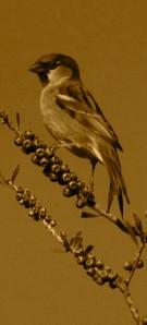 SparrowMaletrimB&W